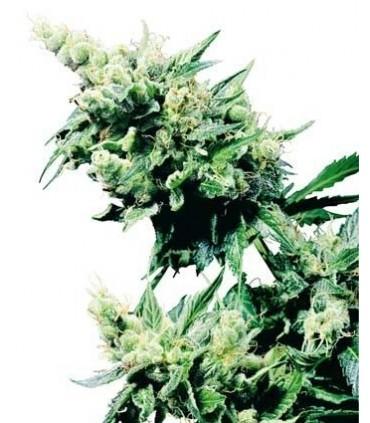 Hash Plant Regular