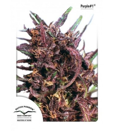 Purple No. 1 Feminizada